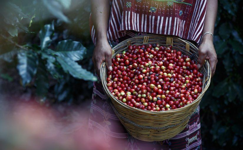 kawa arabica czy robusta